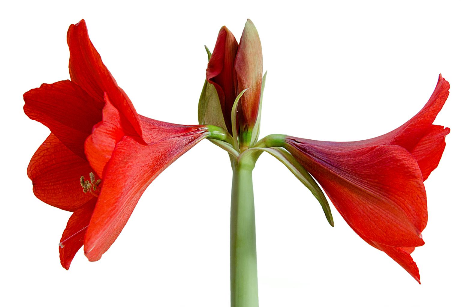 Fotomontage einer  Amaryllis